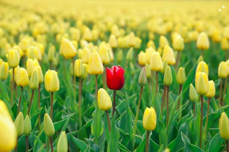 field of yellow tulips with one red one